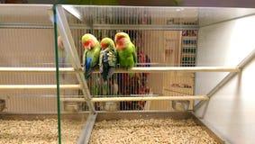 Oiseaux d'amour dans le magasin de bêtes Images stock
