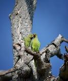 Oiseaux d'amour et un arbre Image libre de droits