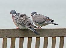 Oiseaux d'amour sur le banc côtier Images libres de droits