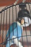 Oiseaux d'amour verrouillés dans seules les cages photos libres de droits