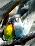 Oiseaux d'amoureux, Îles Maurice Photos stock