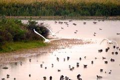 Oiseaux d'eau Image libre de droits