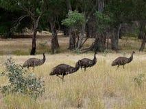 Oiseaux d'Emu Photo libre de droits