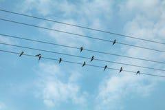 Oiseaux d'hirondelle sur des lignes électriques Image libre de droits