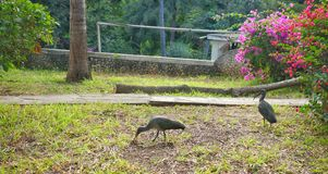 Oiseaux d'IBIS dans les jardins africains Photos stock