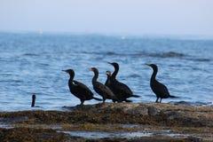 Oiseaux d'océan Photo libre de droits