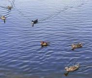 Oiseaux d'oiseaux aquatiques Image libre de droits