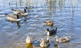 Oiseaux d'oiseaux aquatiques Photographie stock libre de droits