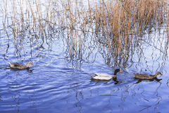 Oiseaux d'oiseaux aquatiques Photos stock