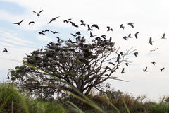 Oiseaux d'Openbill volant des brindilles images stock