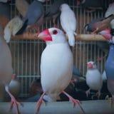 Oiseaux dans la cage Image libre de droits