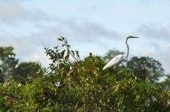 Oiseaux dans Pampas, fleuve d'Amazone Bolivie Images libres de droits