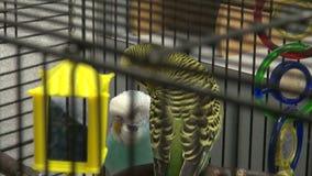 Oiseaux dans une cage à oiseaux banque de vidéos