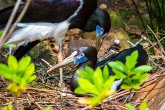 Oiseaux de accouplement dans un nid dans le sauvage de la Floride images libres de droits