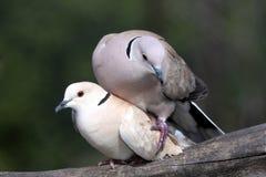 Oiseaux de accouplement de colombe Photos stock