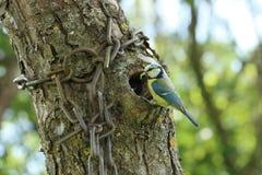Oiseaux de alimentation de petit oiseau jaune avec chaud Photo stock