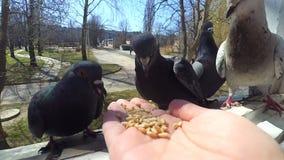 Oiseaux de alimentation de fille colombes avec des mains sur la fenêtre à la maison banque de vidéos