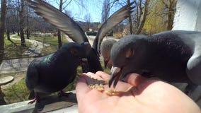 Oiseaux de alimentation de fille colombes avec des mains sur la fenêtre à la maison clips vidéos