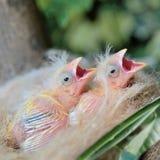 Oiseaux de bébé Photographie stock libre de droits