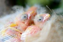 Oiseaux de bébé Photo stock
