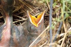 Oiseaux de bébé affamés Photographie stock