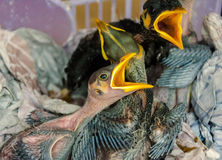 Oiseaux de bébé affamés dans le nid Image stock