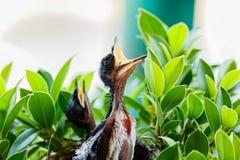 Oiseaux de bébé affamés dans un nid voulant que l'oiseau de mère vienne Photos libres de droits