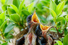 Oiseaux de bébé affamés dans un nid voulant que l'oiseau de mère vienne Photographie stock libre de droits