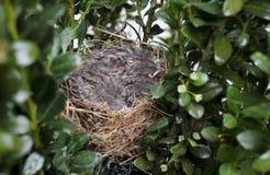 Oiseaux de bébé de moineau d'ébrèchement dans le nid, la Géorgie Etats-Unis photo stock