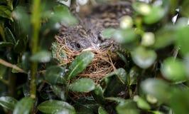 Oiseaux de bébé de moineau d'ébrèchement dans le nid, la Géorgie Etats-Unis photos libres de droits