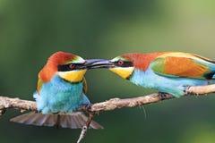 Oiseaux de baiser du paradis Images libres de droits