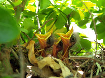 Oiseaux de chéri dans l'emboîtement Image libre de droits