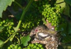 Oiseaux de chéri nouveau-nés dans l'emboîtement Photo stock