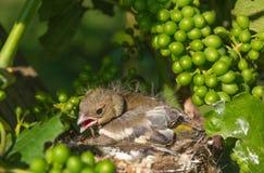 Oiseaux de chéri nouveau-nés dans l'emboîtement Image libre de droits