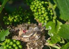 Oiseaux de chéri nouveau-nés dans l'emboîtement Image stock