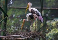 Oiseaux de cigogne affichés par jaune à leur nid Image stock