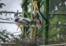 Oiseaux de cigogne affichés par jaune préparant leur nid Photos stock