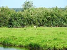 Oiseaux de cigogne marchant dans le pré, Lithuanie Image stock
