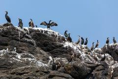 Oiseaux de cormorans sur la roche Photo libre de droits