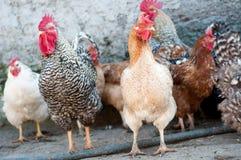 Oiseaux de ferme photos stock