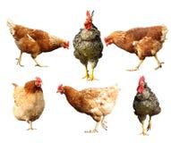 Oiseaux de ferme sur le blanc Image stock