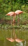 Oiseaux de flamant dans l'amour Photo libre de droits
