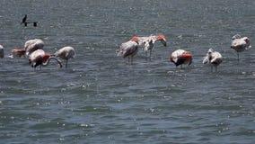 Oiseaux de flamant sur l'eau de mer clips vidéos
