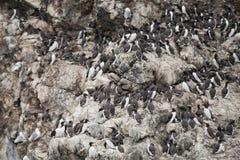 Oiseaux de fou de Bassan accrochant sur une roche Photos libres de droits