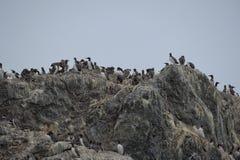 Oiseaux de fou de Bassan accrochant sur une roche Photo libre de droits