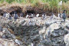 Oiseaux de fou de Bassan accrochant sur une roche Photographie stock