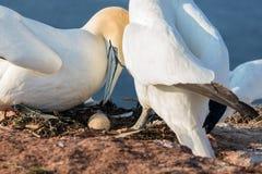 Oiseaux de fou de Bassan avec l'oeuf à l'île de Helgoland d'Allemand Images libres de droits