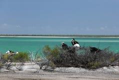 Oiseaux de frégate d'emboîtement dans la lagune de Kiritimati Images libres de droits