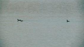 Oiseaux de grèbe d'arbre nageant banque de vidéos