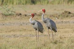 Oiseaux de grue de Saras photos libres de droits